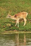 Fallow deer buck (Dama dama) Royalty Free Stock Image