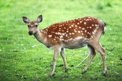 Fallow deer buck, Dama Dama, with big antlers walking through a green forest during Autumn season. stock photos