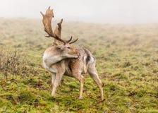 Fallow Deer Buck - Dama dama grooming itself. A Fallow Deer Buck, Dama dama, grooming itself on a cold foggy day in late autumn, Warwickshire, England Stock Photo