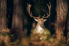 Fallow deer buck dama dama between pine trunks. Fallow deer buck dama dama between pine trunks lit by sunlight Royalty Free Stock Images
