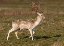 Fallow Deer Buck - Dama dama standing. A Fallow Deer Buck, Dama dama, standing with one leg raised in a Warwickshire parkland on a frosty sunny winters day stock images