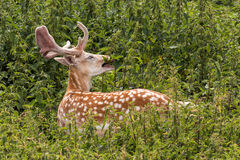 Fallow Deer Buck - Dama dama, Warwickshire, England. Royalty Free Stock Images