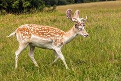 Fallow Deer Buck - Dama dama, Warwickshire, England. Fallow Deer Buck with velvet covered antlers walking through the parkland, Warwickshire, England Stock Images