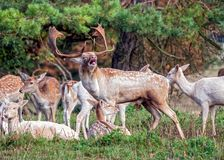 Fallow Deer Buck - Dama dama groaning and with Does. stock images