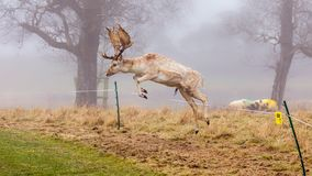 Fallow Deer Buck - Dama dama, jumping over an electric fence. An impressive Fallow Deer Buck, Dama dama, leaping over an electric fence surrounding a Jacob`s royalty free stock images