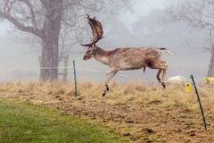 Fallow Deer Buck - Dama dama, jumping over an electric fence. An impressive Fallow Deer Buck, Dama dama, in mid-air leaping over an electric fence surrounding a Royalty Free Stock Image