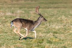 Fallow Deer Buck - Dama dama running. A Fallow Deer Buck, Dama dama, early morning running in a Warwickshire parkland on a frosty sunny winters day royalty free stock photos