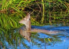 Fallow Deer Buck - Dama dama swimming across a river.