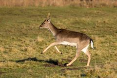 Fallow Deer Buck  - Dama dama about to run. A Fallow Deer `Pricket`- Dama dama, a 2nd year buck or male, about to run off on a sunny early January day Royalty Free Stock Images