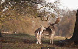 Fallow deer buck and doe in tender moment in forest landscape Stock Image