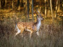 Fallow deer buck. Dama dama by the forest at sunset Royalty Free Stock Image