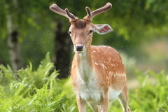 Fallow deer buck in the forest Royalty Free Stock Images