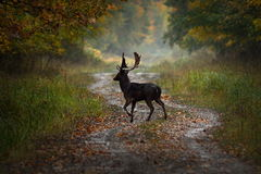 Fallow deer buck on forest road Royalty Free Stock Image