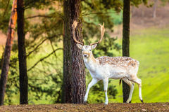 Fallow deer buck in forest Royalty Free Stock Photo