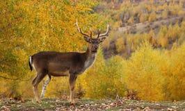 Fallow deer buck in a glade. Fallow deer buck ( dama dama ) standing proud in a glade during the mating season in fall stock photos