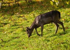 Fallow Deer buck grazing Stock Photos