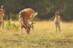 Fallow deer buck grazing Royalty Free Stock Photo