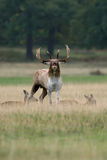 Fallow Deer buck guarding does. A rutting Fallow Deer buck guards his harem of does Royalty Free Stock Photography