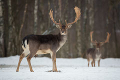 Fallow Deer Buck. Majestic powerful adult Fallow Deer, Dama dama, in winter forest, Belarus. Wildlife scene from nature, Europe.A Stock Photos