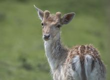 Fallow deer buck Royalty Free Stock Photography