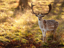 Fallow Deer Buck in Morning Sun. A spotted fallow deer buck is caught in the clearing of a wood, lit by the morning sunlight Royalty Free Stock Images