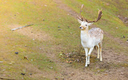 Fallow deer buck at park Royalty Free Stock Photos