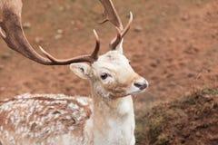 Fallow deer buck at park Stock Image