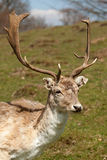 Fallow deer buck Royalty Free Stock Images
