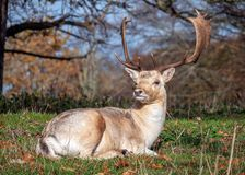 Fallow Deer Buck resting after the rut. stock photography