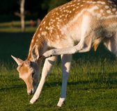 Fallow Deer Buck Scratching Royalty Free Stock Photo