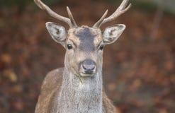 Fallow deer buck. Shot of a beautiful fallow deer buck royalty free stock photos
