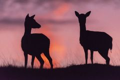 Fallow deer buck. Shot of a beautiful fallow deer buck royalty free stock images