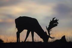 Fallow deer buck. Shot of a beautiful fallow deer buck stock photography