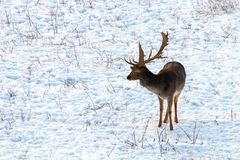 Fallow deer buck snow winter landscape Dama Dama. Wildlife stock images