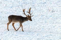 Fallow deer buck snow winter landscape Dama Dama. Wildlife royalty free stock image