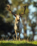 Fallow Deer Buck. Fallow deer buck standing in dappled light during the rutting season in England stock photos
