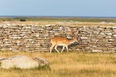 Fallow deer buck Royalty Free Stock Images