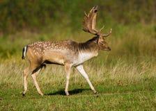 Fallow Deer Buck Strutting. Stock Photography