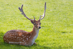 Fallow deer buck in summer Stock Image