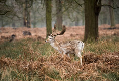 Fallow Deer Buck, UK Stock Photos