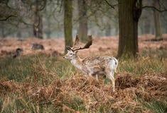 Fallow Deer Buck, UK Stock Photos