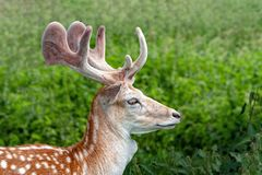 Fallow Deer Buck with velvet covered antlers, Warwickshire, England. A portrait of a Fallow Deer Buck - Dama dama with his new velvet covered antlers and royalty free stock image