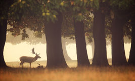 A fallow deer buck. A wild fallow deer buck in the forest on a misty morning royalty free stock photos