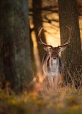 Fallow Deer Buck in Wood. A fallow deer buck looks directly at the camera from within the trees, as the sunrises behind him Royalty Free Stock Images