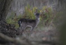 Fallow deer buck. A young fallow deer buck in the forest in winter royalty free stock photography