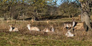 Fallow Deer Bucks Royalty Free Stock Photography