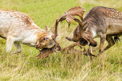 Fallow Deer Bucks in combat. Stock Photo