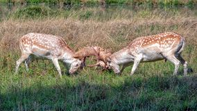 Fallow Deer Bucks fighting in a country park. Fallow Deer bucks - Dama dama with antlers interlocked during a fight in the lead-up to the rutting season royalty free stock photography