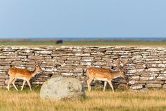 Fallow deer bucks Royalty Free Stock Images