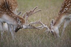 Fallow Deer Bucks Royalty Free Stock Photos